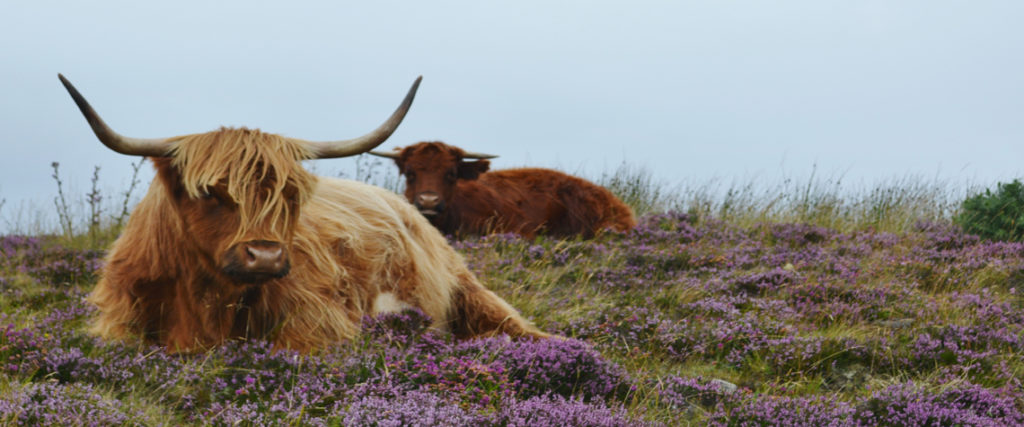 Highland Cows.
